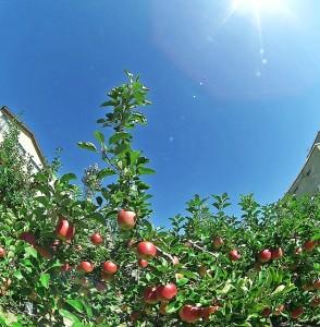 飯田のりんご並木
