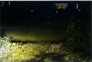 s-平元盛親20150910「子狐の幻影か・・・」010