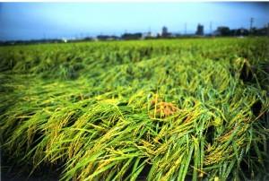 s-平元盛親20140925「秋・・・田の米もたわわに実り収穫期」006