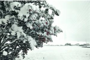 s-平元盛親20141218「狐の里も冬・・・椿にも雪が」008