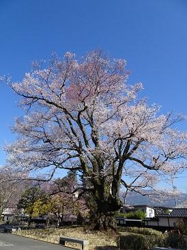 2019年4月4日の安富桜